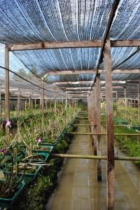 Coltivazione di Orchidee, Thailandia